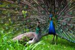 Картинка павлин без хвоста – фото и картинка хвост павлина, скачать рисунок на Depositphotos®