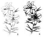 Рисунок акварелью лилии – Как нарисовать лилию, букет лилий акварелью?