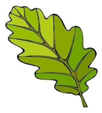какие листочки у дуба