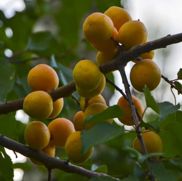 Рисунок абрикос для детей – Раскраска абрикос скачать и ...