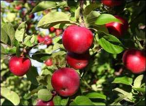 Яблоки картинки для детей раскраски – Раскраска - Малышам ...